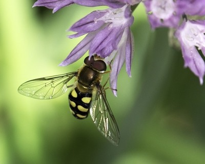 Hover on Chive Flower
