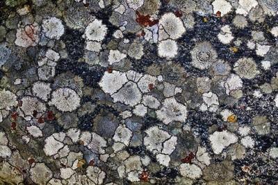 Patchwork Lichen