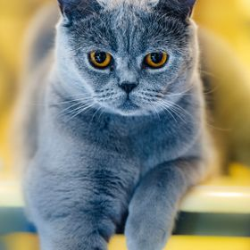Blue is a British Shorthair cat.  More photos on www.johanlb.fr
