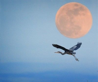 Moonrise Heron