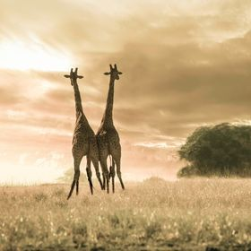 Two giraffes looking into a stormy sky n Etosha National Park, Namibia