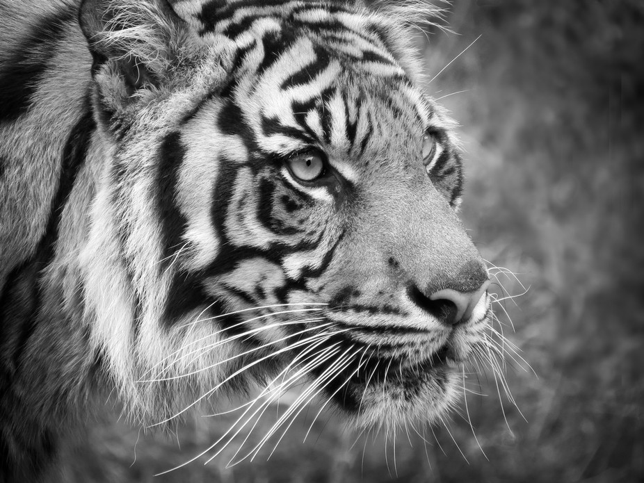 Sumatran tigers are a very endangered species due to rapidly decreasing habitat and illegal hunting.