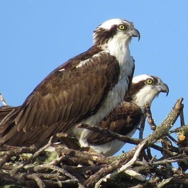 Nesting Sanibel Osprey