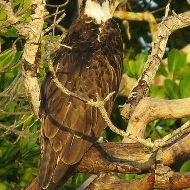 Osprey in the Mangrove Trees