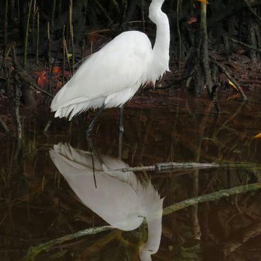 Sanibel Island Egret Reflection