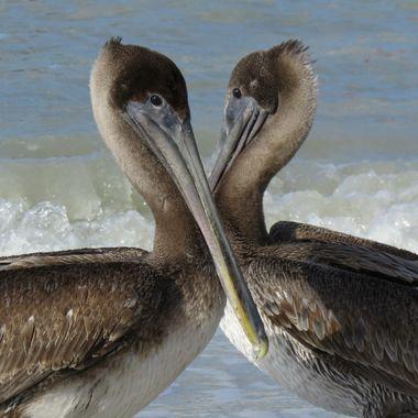 Pelican heart
