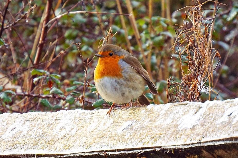 Robin on a frosty fence