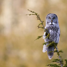 A Great Gray Owl perched atop a mountain hemlock near Terrace, BC.