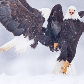 A pair of adult Bald Eagles fight over a choice spot in the snow near Terrace, BC.