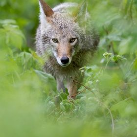 A coyote walking towards me along a trail through some thick brush in Northern BC, Canada.