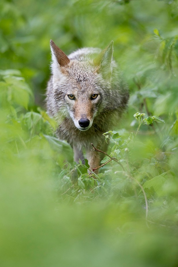 Coyote by brandonbroderick