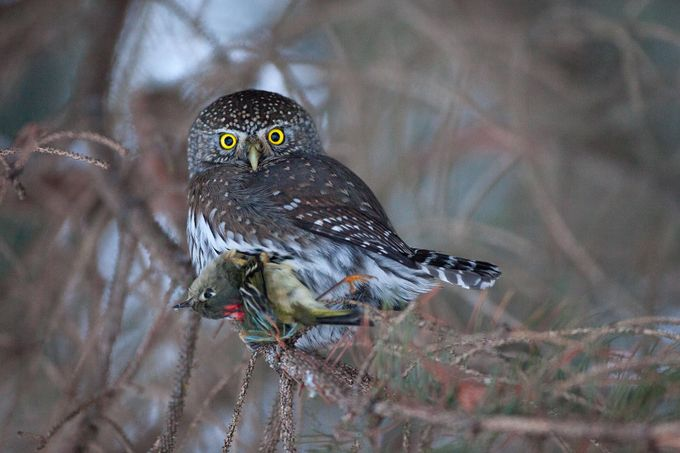 Pygmy-owl and Prey by brandonbroderick