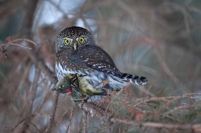 Pygmy-owl and Prey