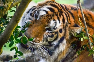 Tiger Snack Time