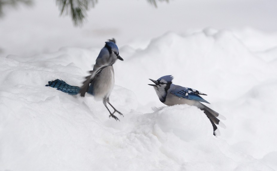 Algonquin Park. Blue Jays kept us entertained. One was having a bad day, it seemed. Nikon d7100, ...