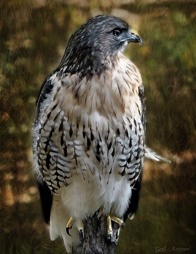 Red Tailed Hawke