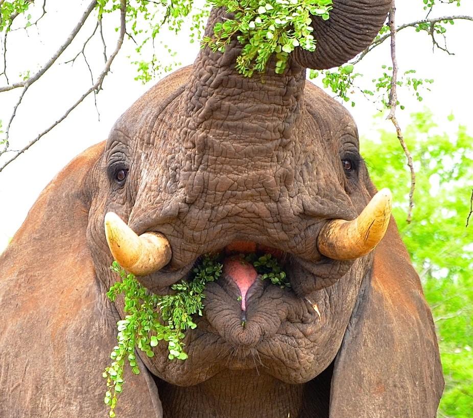 Elephant Browsing on Knob thorn in the HiP - Zululand KZN RSA