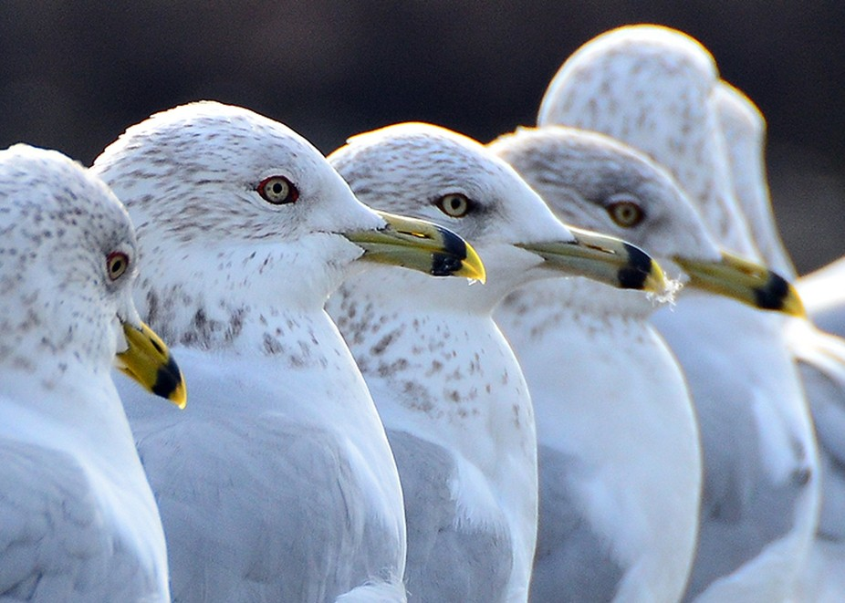 A group of Ring Billed Seagulls line up on a railing by a lake.
