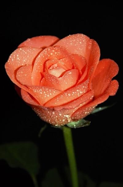 Misty Orange Rose