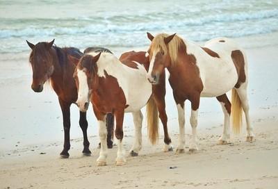 Assateague wild horses, on the beach.