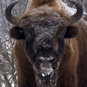The herd of Wisent in Bialowieza region of Eastern Poland is one of the first examples that large mammals can be brought back from (near) extinct...