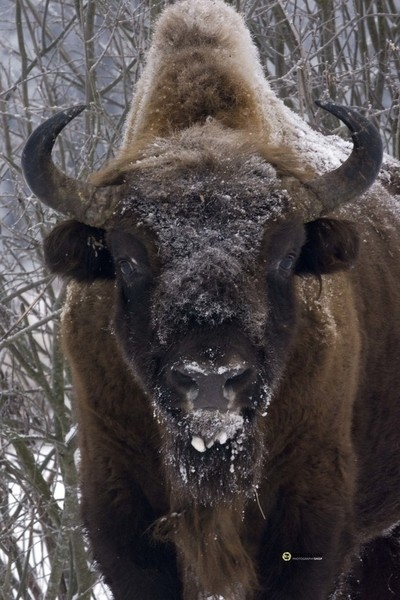 Wisent or European Bison up close and personal