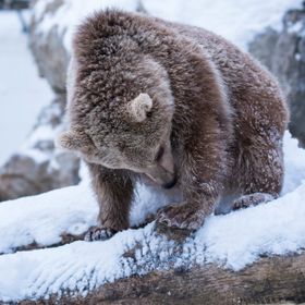 A baby brown bear of Syria discovering snow