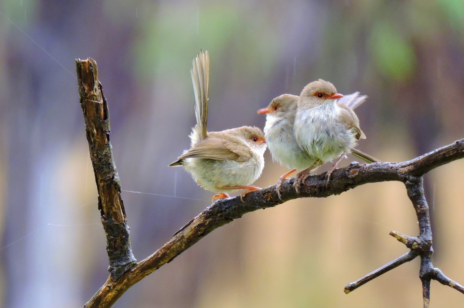 these wren were sitting in the rain one Sunday morning in January 2015 at Yarrawonga