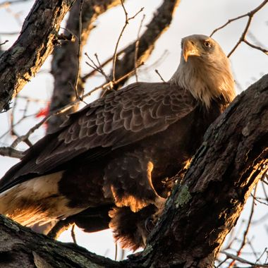 Watching the eagles chow run in Columbia, Maryland -- this one flew over my head and devoured his breakfast in the tree above me. The light was just right to show off the detail in his feathers. Watching me --- from a distance.