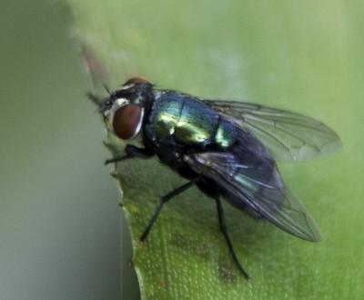 Common blowfly