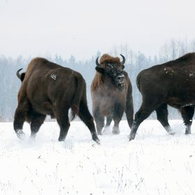 We spent 2 or 3 hours observing a group of 8 mature Wisent bulls in january 2016. They clearly had hierarchy issues and there was constant sparri...