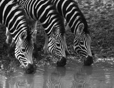 Zebras Drinking © Brian Basson Photography