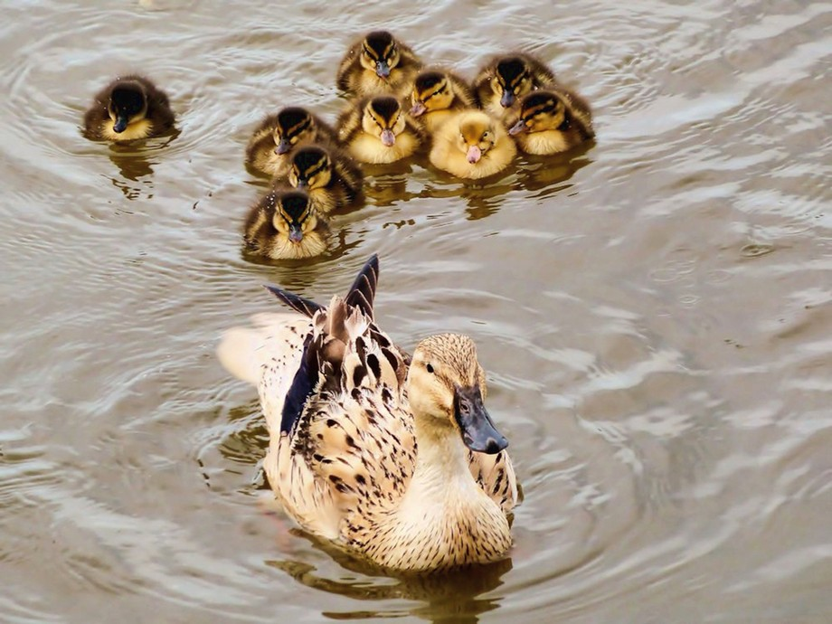Captured these new born chicks this morning on the river Waveney Norfolk Broads UK