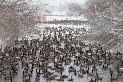 Flocking Geese