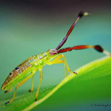 Fruit Spotting Bug Nymph