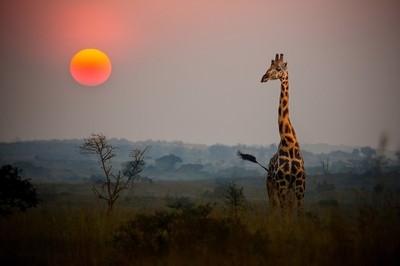 Giraffe in the African Sunrise