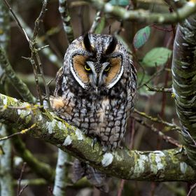 A long-eared owl giving me an intense stare