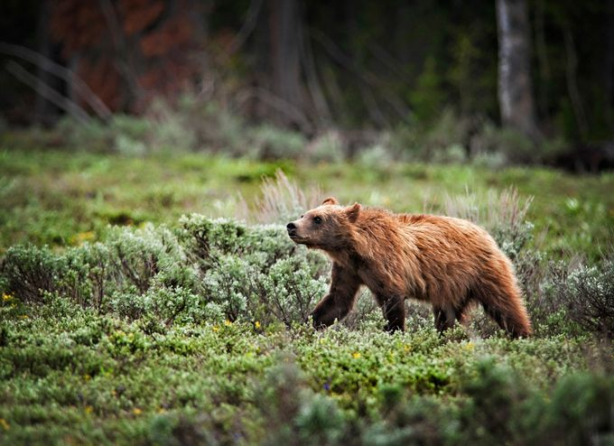 Baby Grizzly color by melissapapaj - The Brown Color Photo Contest