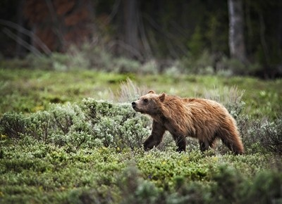 Baby Grizzly color