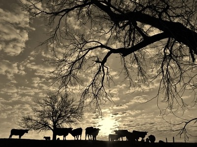 Cattle Country Sunrise.