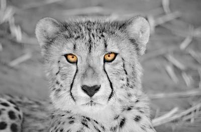Cheetah Portait