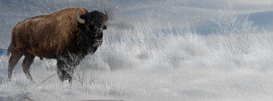 Winter-Buffalo