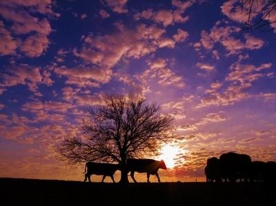 Cattle Drive Sunrise.