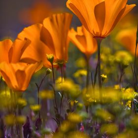 Before we had the drought in Southern California the poppies and wild flowers would pop.  I fell in love with the back lighting of the poppies wi...