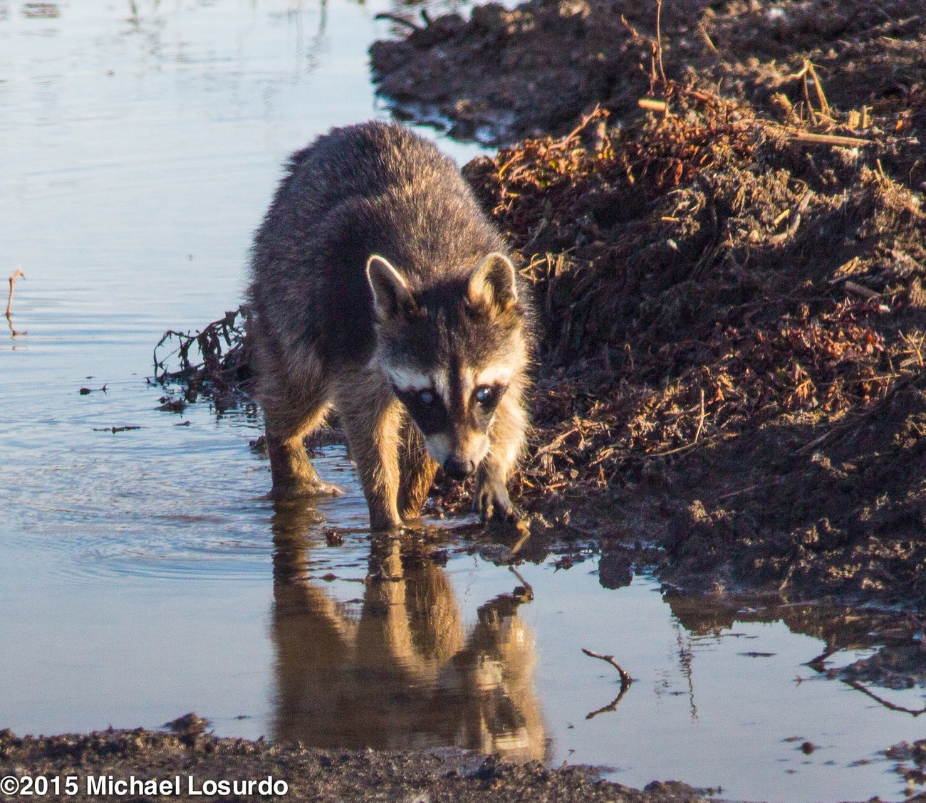 Raccoon getting a drink in the clear water at Haggerman Wildlife Refuge Sherman, TX