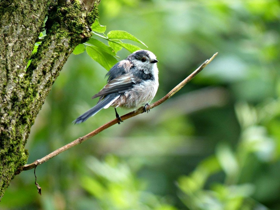 Baby long tailed tit