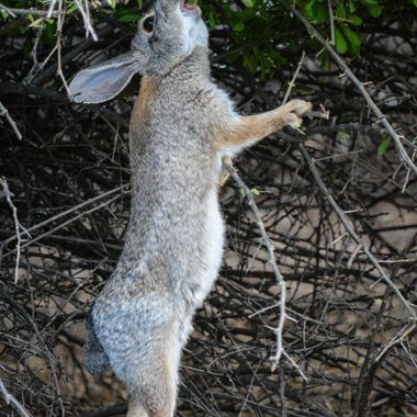 Cottontail stretching to reach the good tasting green leaves.