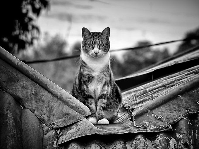 My cat Tortious giving me the look from on top of our old iron roof.