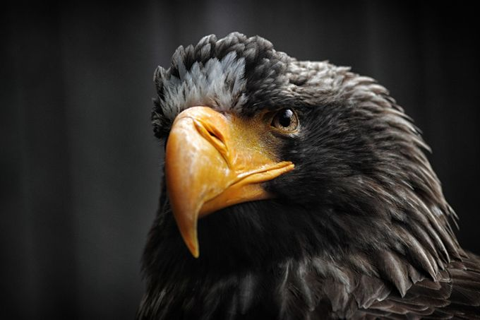 Steller's Sea Eagle by jayaruwan - Majestic Eagles Photo Contest
