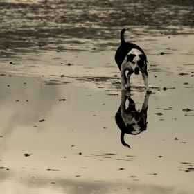 One dog and his reflection on puddle at the sandy shore of Poole Bay